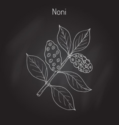 Morinda or noni vector