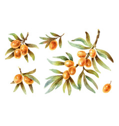 watercolor twigs with sea buckthorn berries vector image