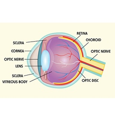 Eye structure vector
