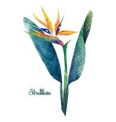 watercolor strelitzia bouquet vector image