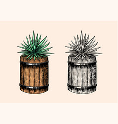 mexican blue agave plant and wooden barrel vector image