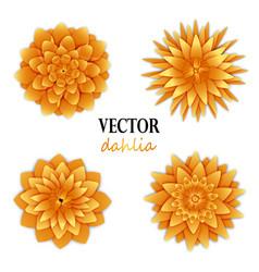 Yellow orange dahlias collection vector