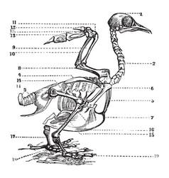 Bird skeleton vintage vector