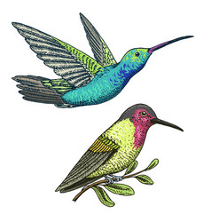 small hummingbird rufous and white-necked jacobin vector image vector image
