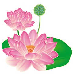 Realistic Oriental lotus - a flower isolated with vector image