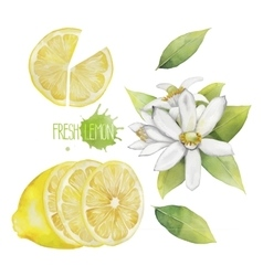 Watercolor lemon collection vector image