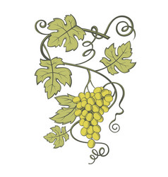 grapes bunches image vector image vector image