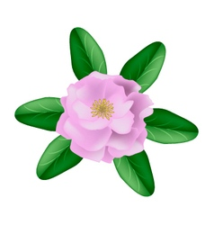 Single Pink Damask Rose on A White Background vector