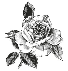 rose hand drawing vector image vector image
