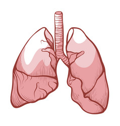human lungs medical health anatomy and healthcare vector image