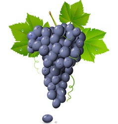 vineyard grapes vector image vector image
