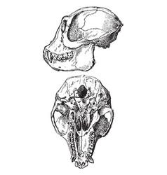 Ape skull vintage vector