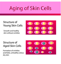 Two types of skin cells young and aged skin vector