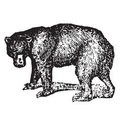 Black bear vintage vector
