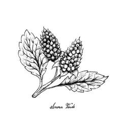 Hand drawn of amora verde berries on white backgro vector