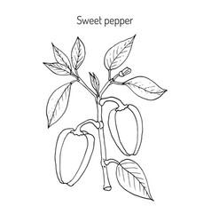 sweet or bell pepper capsicum annuum vector image