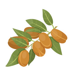 Branch with brown nuts isolated argania tree vector