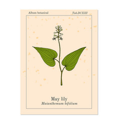 false lily of the valley medicinal plant vector image