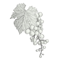hand drawn bunch of grapes isolated on white vector image vector image