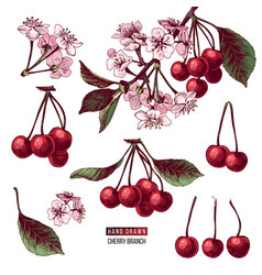 set of cherry branches vector image
