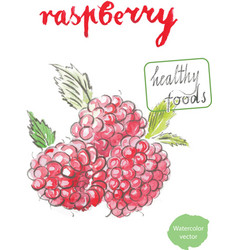 Watercolor raspberry vector