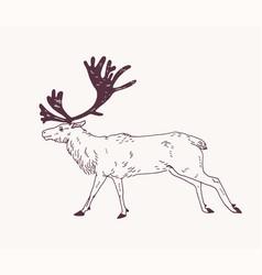 Male deer reindeer or stag with gorgeous antlers vector
