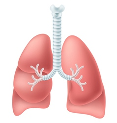 Human lung vector image vector image