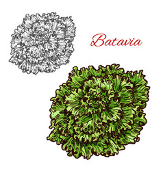 Batavia lettuce vegetable salad green leaf sketch vector