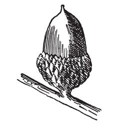 black jack oak acorn vintage vector image