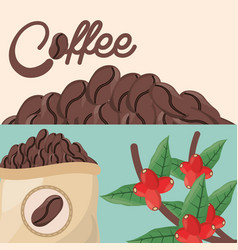 coffee beans tree sac fresh vector image
