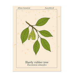 Hardy rubber tree eucommia ulmoides medicinal vector