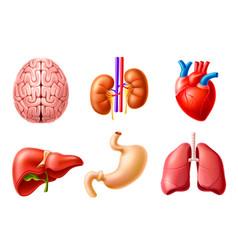 human internal organs 3d set lungs heart vector image