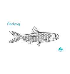 Anchovy hand-drawn vector