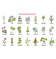 Best medicinal herbs to treat sinus infection vector