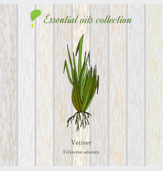 vetiver essential oil label aromatic plant vector image