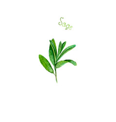 Sage herb spice isolated on white background vector