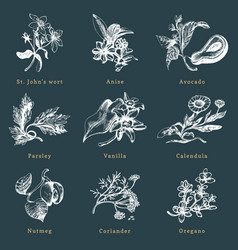 Drawn herbs and spices set botanical vector