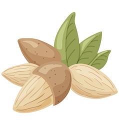 almond vector image