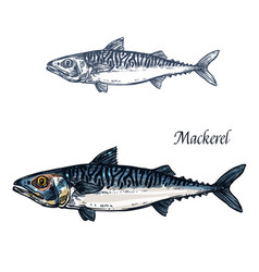 Mackerel fish isolated sketch icon vector