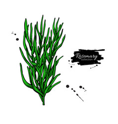Rosemary bunch drawing isolated plant wit vector