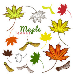 autumn set outline ink and colored maple leaves vector image