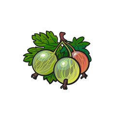 Gooseberry hand drawn ripe berries bunch vector