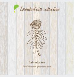 Labrador tea essential oil label aromatic plant vector
