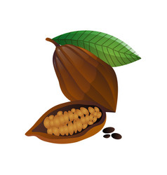 cocoa fruit whole and half with grains on white vector image