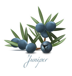 Juniper branch with berries in realistic style vector