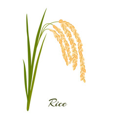 Rice leaves spikelets and seeds on a white vector