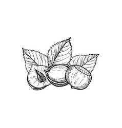 Hazelnut isolated on white background vector