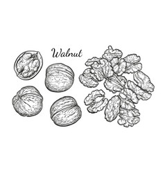 Walnuts sketch set vector