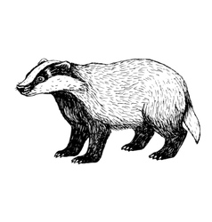 Hand drawn badger Vintage style vector