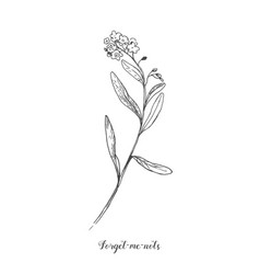 Forget me not botamical line art in vintage vector